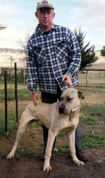 cross breeds bull mastiff cross great dane